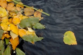 Обои Листва на воде: Вода, Листва, Осень