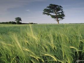 Обои Колхозное поле: Пшеница, Поле, Колхоз, Прочие пейзажи