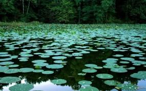 Обои Кувшинки на болоте: , Прочие пейзажи