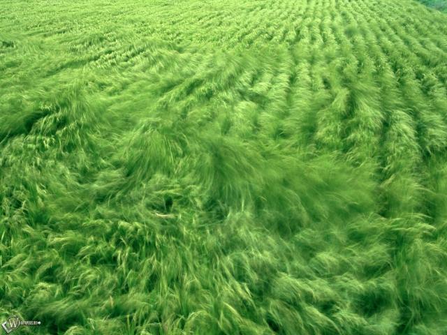 Примятая ветром трава