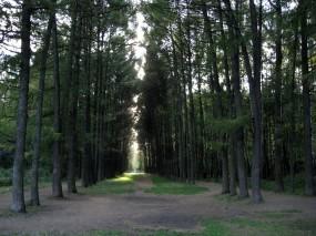 Обои Лесная аллея: Свет, Лес, Деревья, Сосны, Аллея, Прочие пейзажи