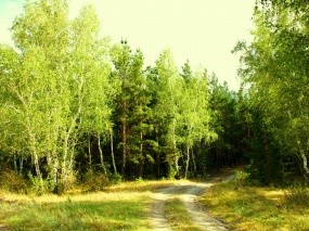 Обои Лесная завирушка: Зелень, Лес, Лето, Завирушка, Берёза, Опушка, Прочие пейзажи