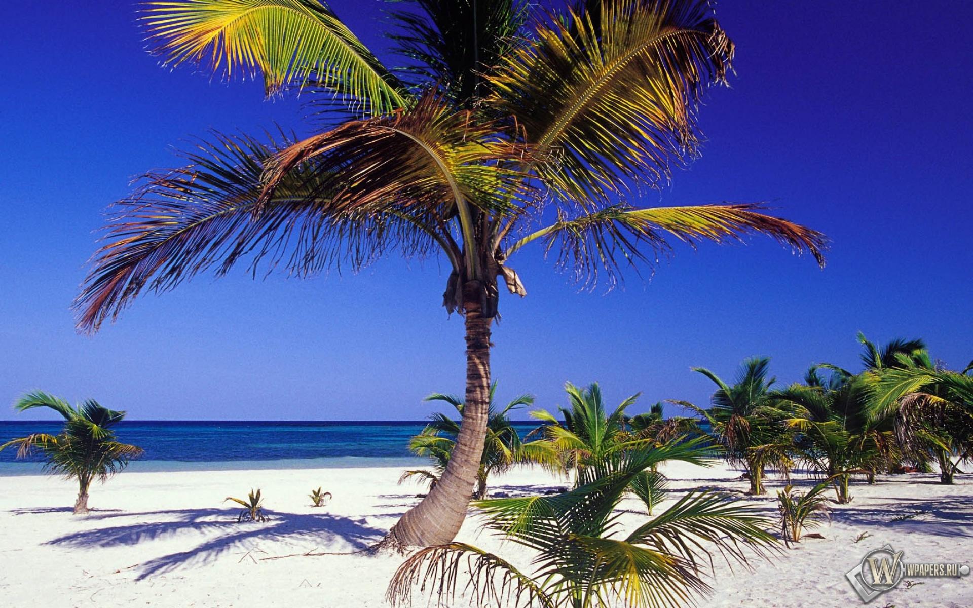 картинки пальмы на побережье нашем каталоге представлен