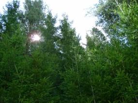 Обои солнце сквозь ели: Лес, Солнце, Елки, Прочие пейзажи