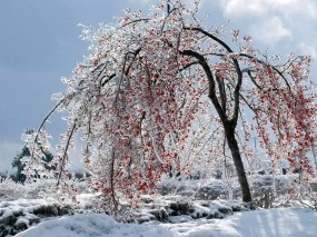 Обои Калина красная: Зима, Ягоды, Лёд, Дерево, Калина, Зима