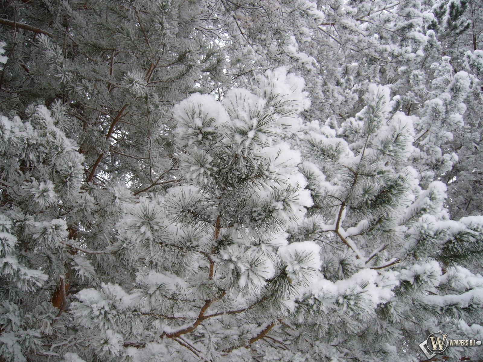 Еловые ветки в снегу 1600x1200