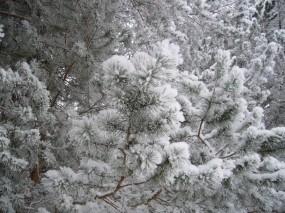 Обои Еловые ветки в снегу: Зима, Снег, Лес, Природа, Ели, Зима