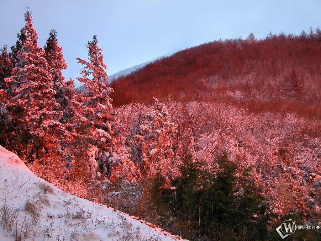 Красные ели зимой 1024x768
