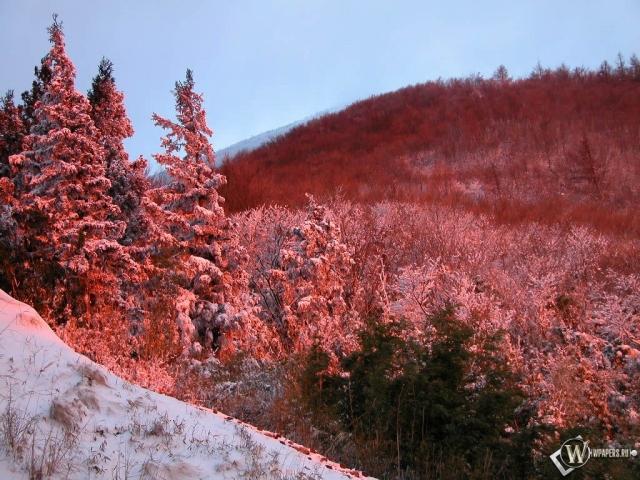 Красные ели зимой