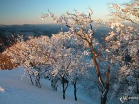 Обои Заснеженные кустарники: , Зима