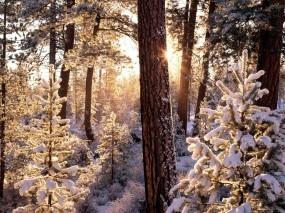 Обои Зимний лес: Зима, Снег, Лес, Деревья, Солнце, Иней, Ели, Лучи, Зима