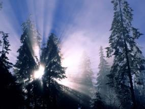 Обои Лучи солнца через ели: Свет, Деревья, Солнце, Ели, Лучи, Зима