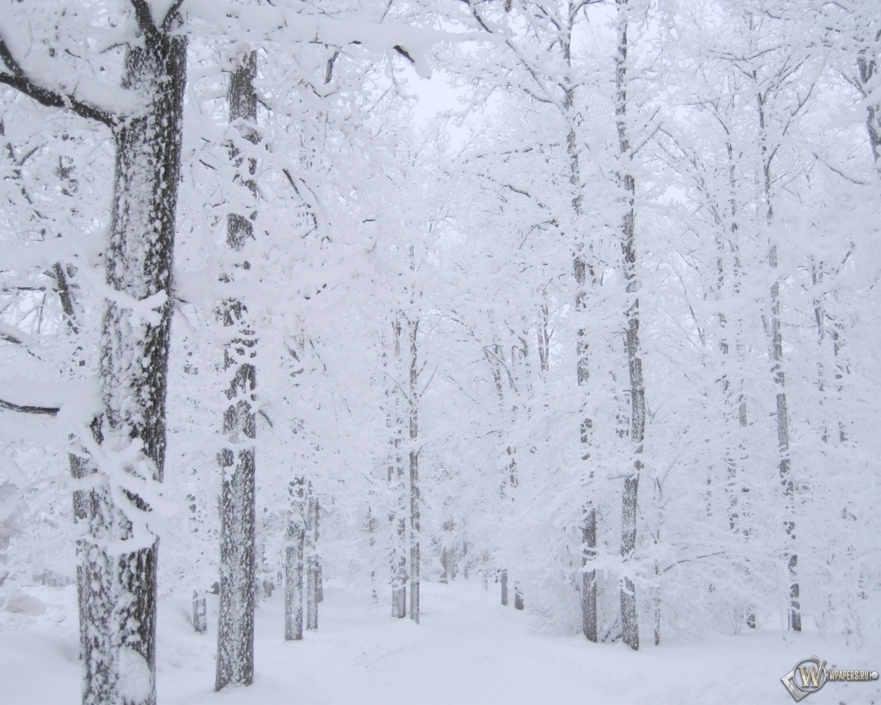 Белоснежный лес 1280x1024